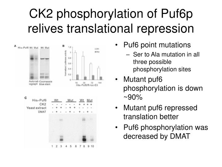 CK2 phosphorylation of Puf6p relives translational repression