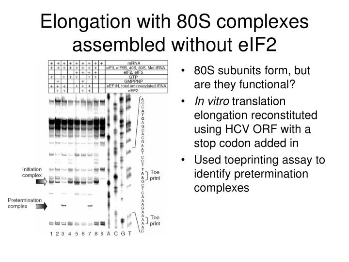Elongation with 80S complexes assembled without eIF2