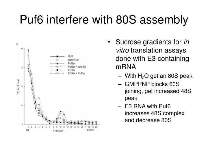 Puf6 interfere with 80S assembly