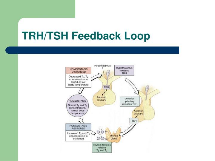TRH/TSH Feedback Loop