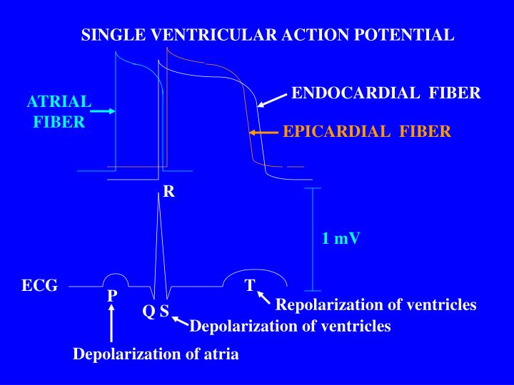 SINGLE VENTRICULAR ACTION POTENTIAL