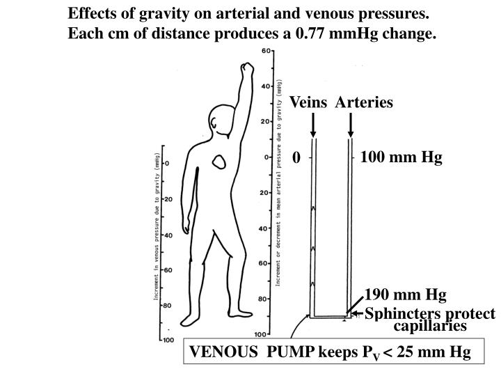 Effects of gravity on arterial and venous pressures.