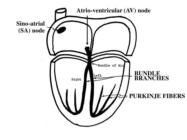 Atrio-ventricular (AV) node