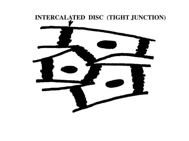 INTERCALATED  DISC  (TIGHT JUNCTION)