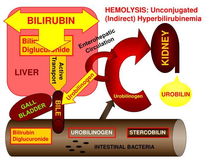 HEMOLYSIS: Unconjugated