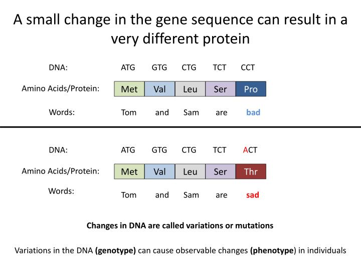 A small change in the gene sequence can result in a very different protein