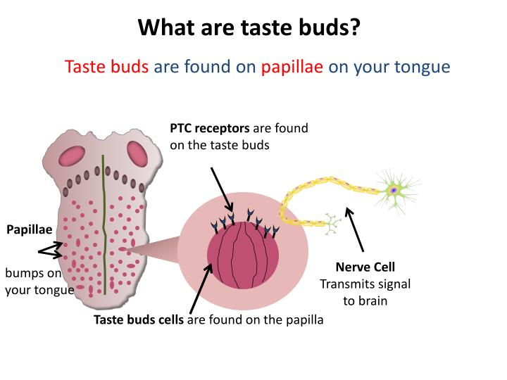 What are taste buds?