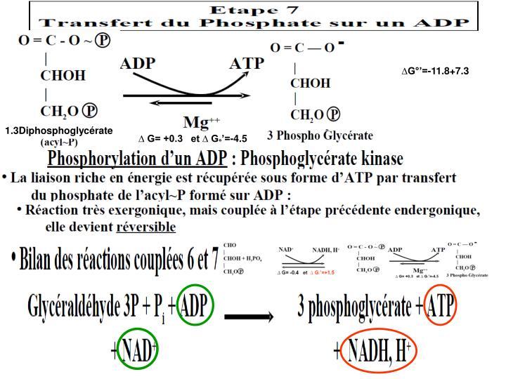 1.3Diphosphoglycérate
