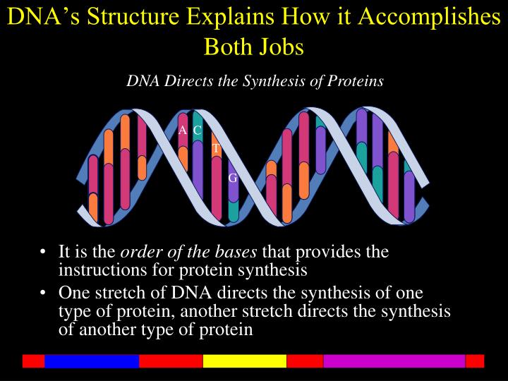 DNA's Structure Explains How it Accomplishes Both Jobs