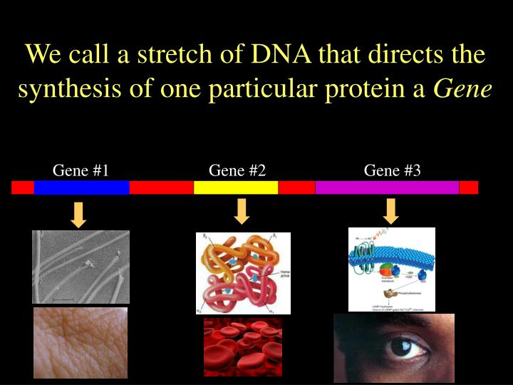 We call a stretch of DNA that directs the synthesis of one particular protein a