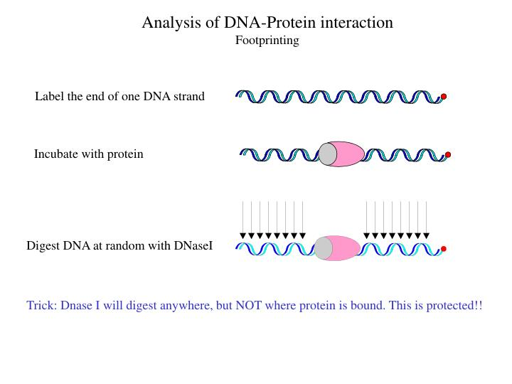 Label the end of one DNA strand