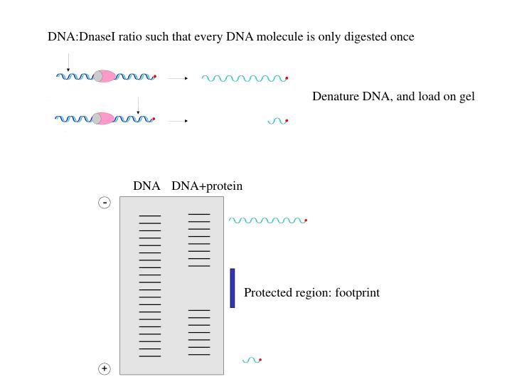 Denature DNA, and load on gel