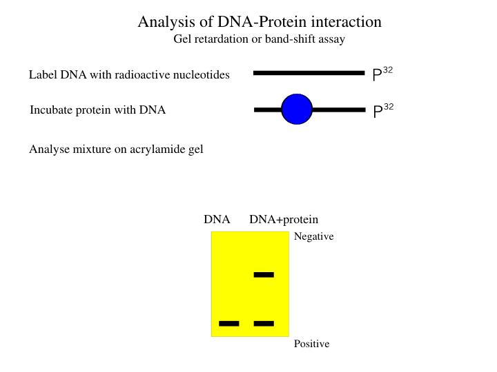 Label DNA with radioactive nucleotides