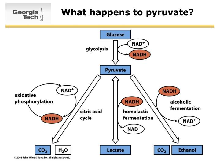 What happens to pyruvate?
