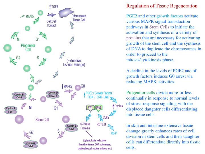 Regulation of Tissue Regeneration