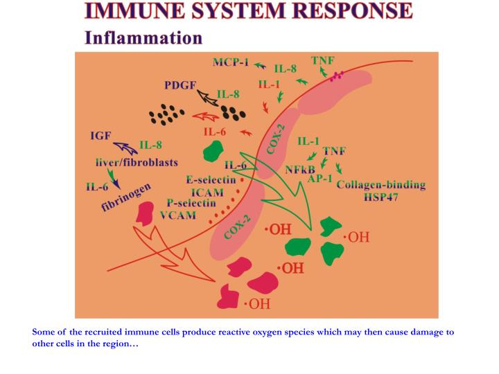 Some of the recruited immune cells produce reactive oxygen species which may then cause damage to other cells in the region…