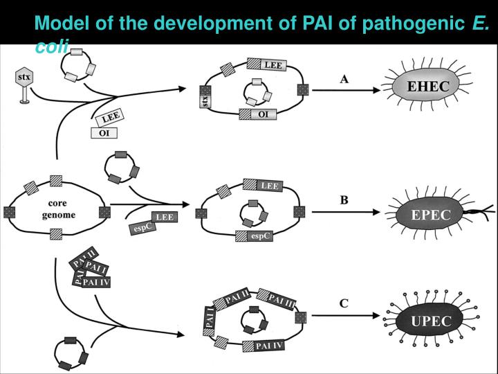 Model of the development of PAI of pathogenic