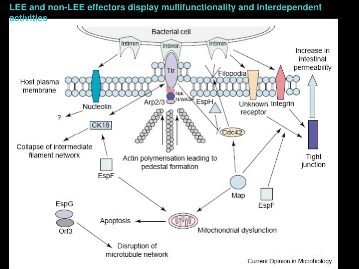 LEE and non-LEE effectors display multifunctionality and interdependent activities