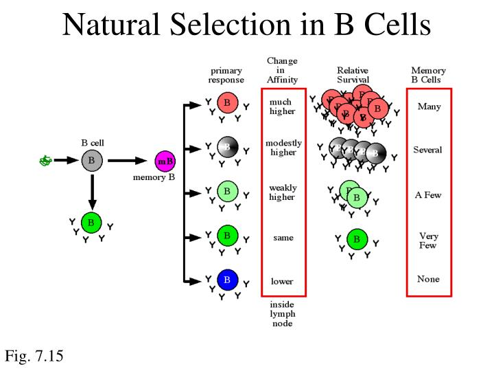 Natural Selection in B Cells