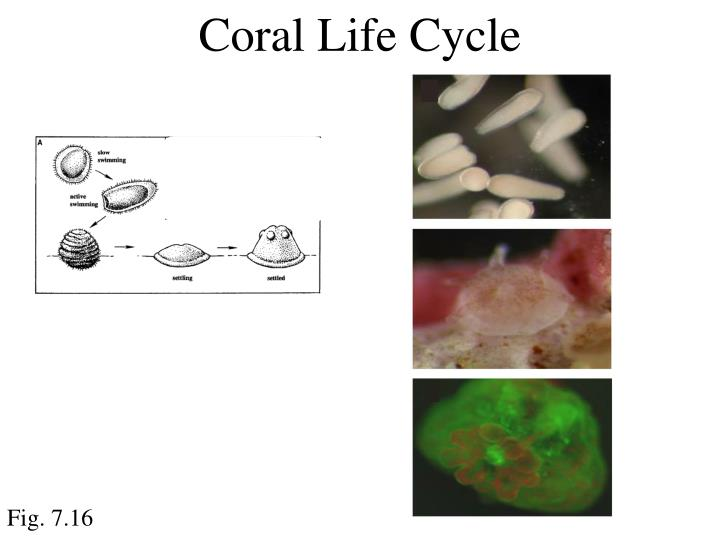 Coral Life Cycle