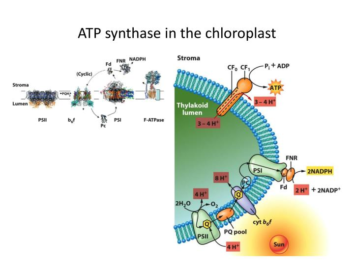 ATP synthase in the chloroplast
