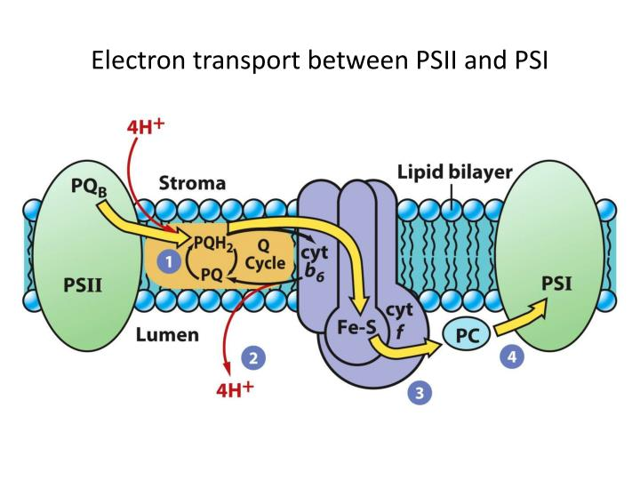 Electron transport between PSII and PSI