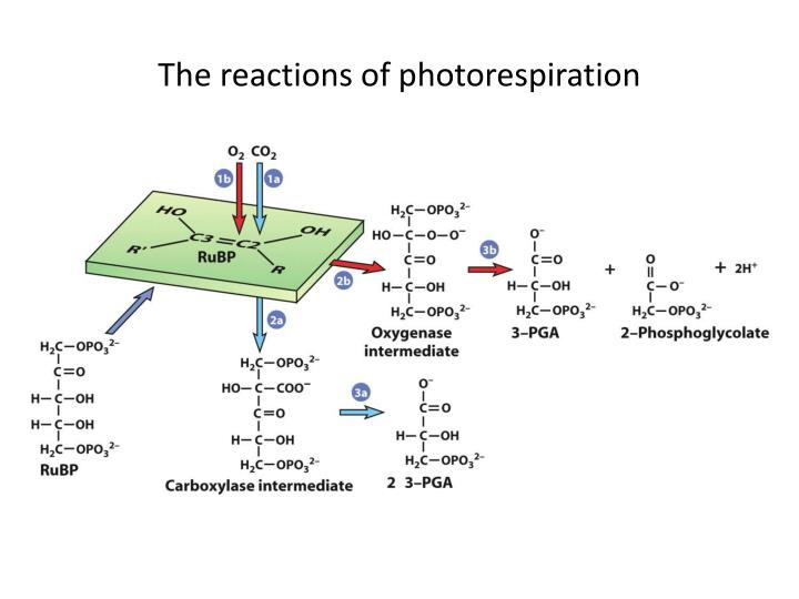 The reactions of photorespiration
