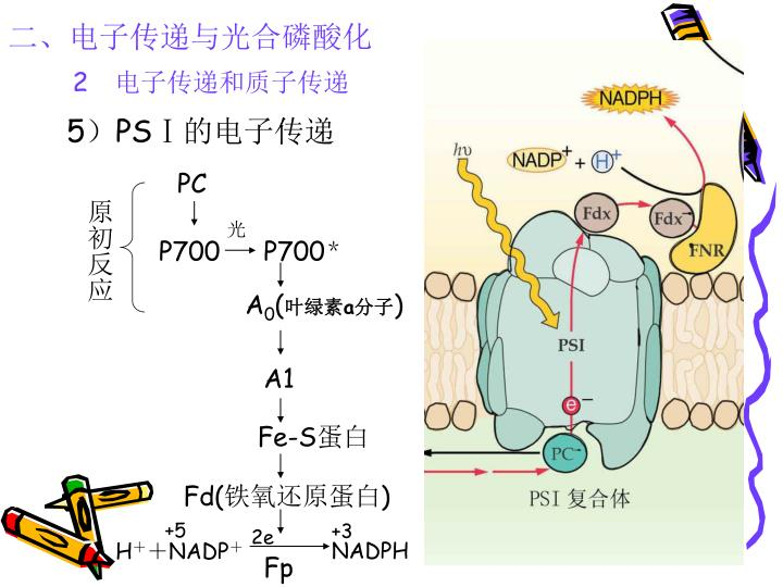 二、电子传递与光合磷酸化