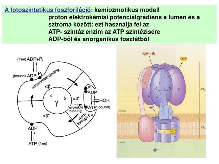 A fotoszintetikus foszforiláció