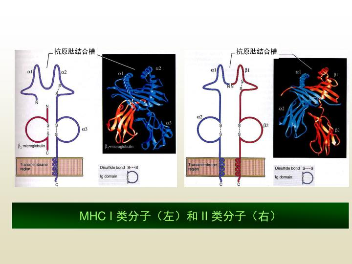 抗原肽结合槽