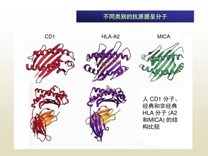 不同类别的抗原提呈分子