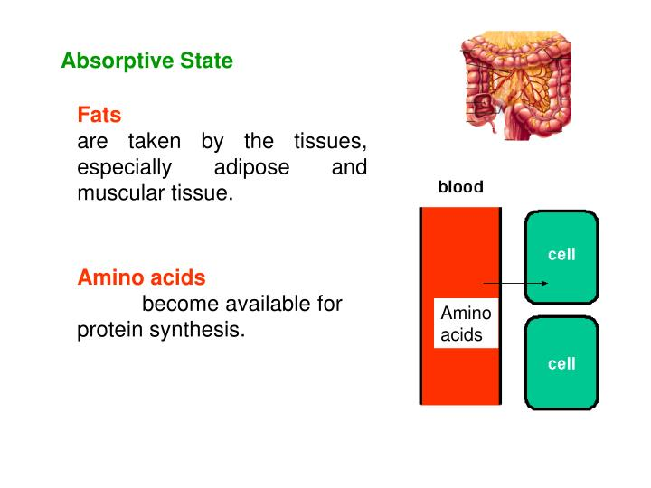 Absorptive State