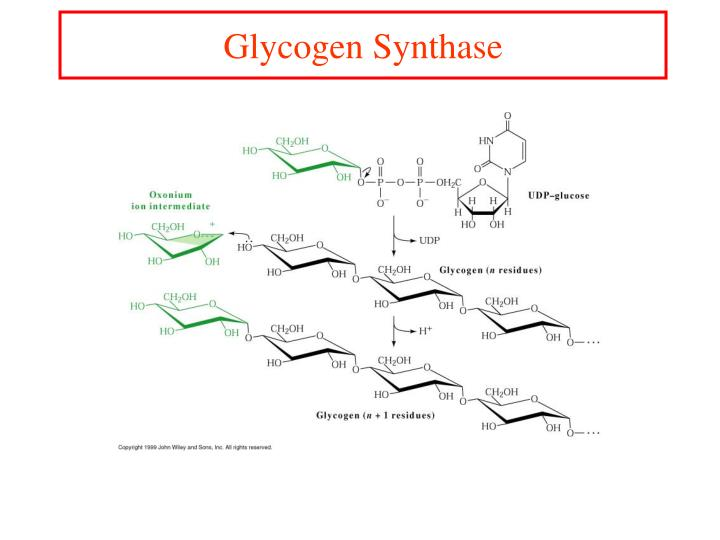 Glycogen Synthase