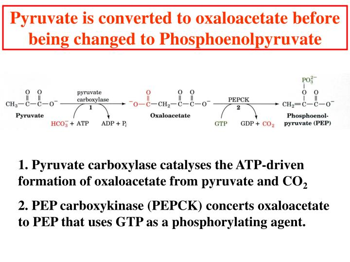 Pyruvate is converted to oxaloacetate before being changed to Phosphoenolpyruvate
