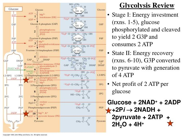 Glycolysis Review