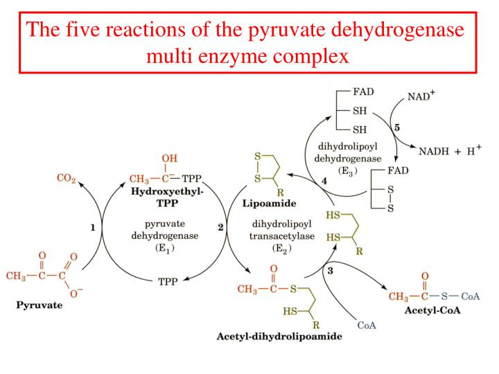 The five reactions of the pyruvate dehydrogenase
