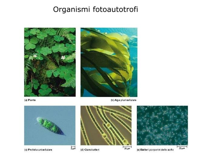 Organismi fotoautotrofi