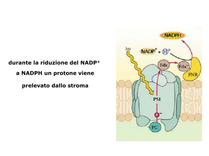 durante la riduzione del NADP