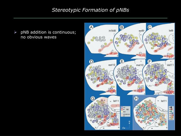 Stereotypic Formation of pNBs