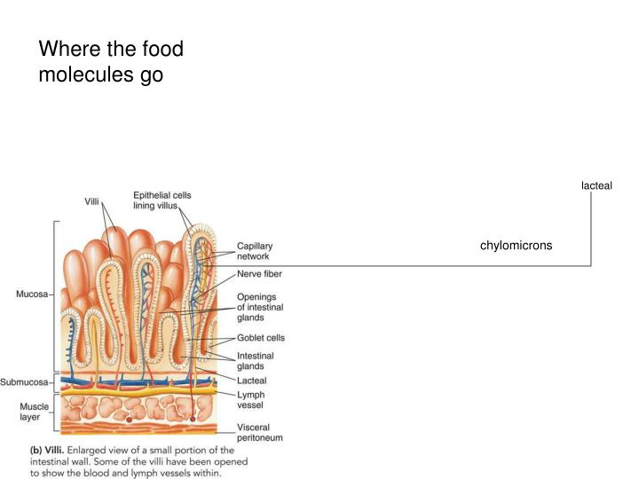 Where the food molecules go