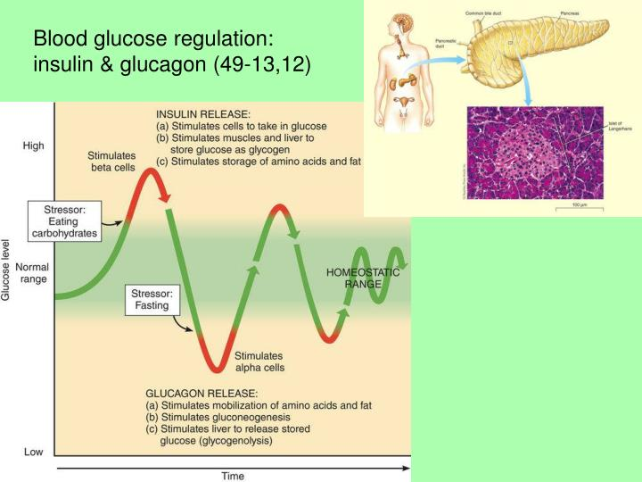 Blood glucose regulation: insulin & glucagon (49-13,12)