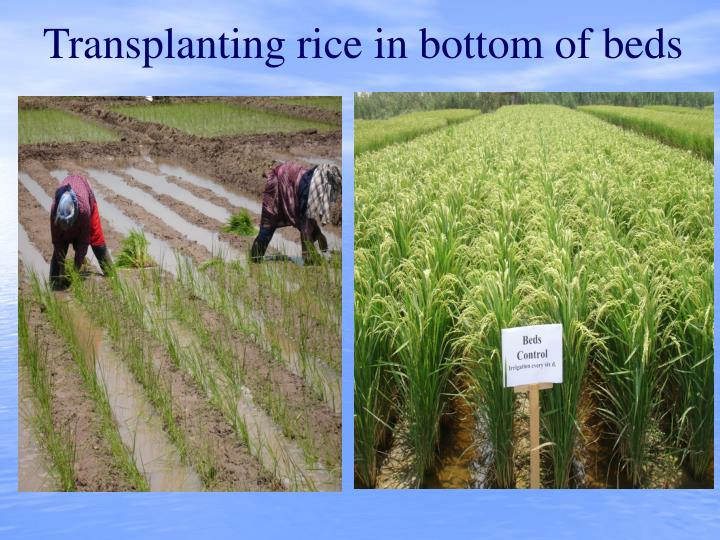 Transplanting rice in bottom of beds