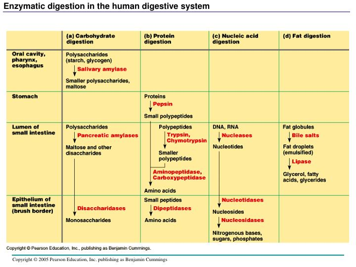 Enzymatic digestion in the human digestive system