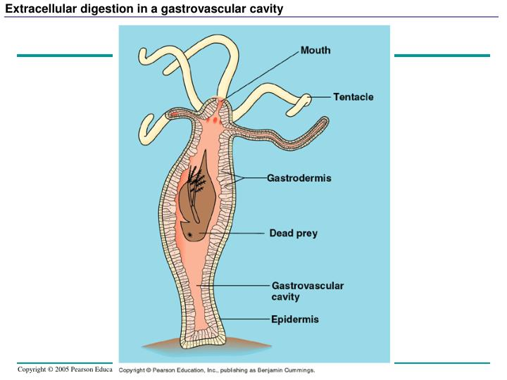 Extracellular digestion in a gastrovascular cavity