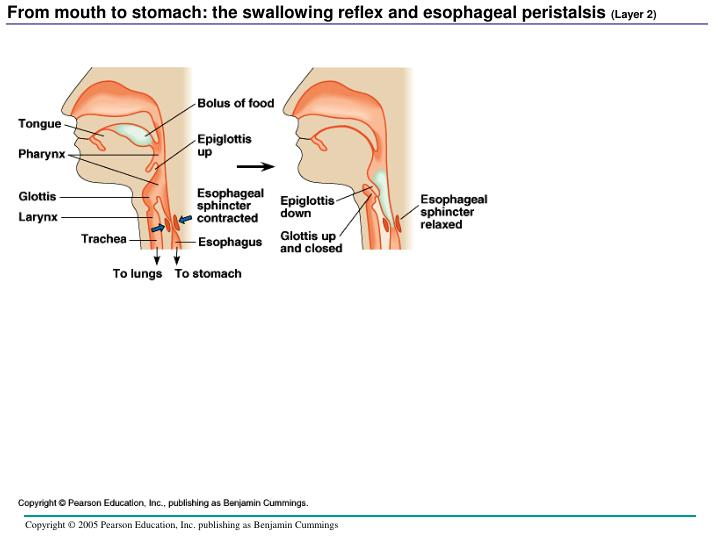 From mouth to stomach: the swallowing reflex and esophageal peristalsis