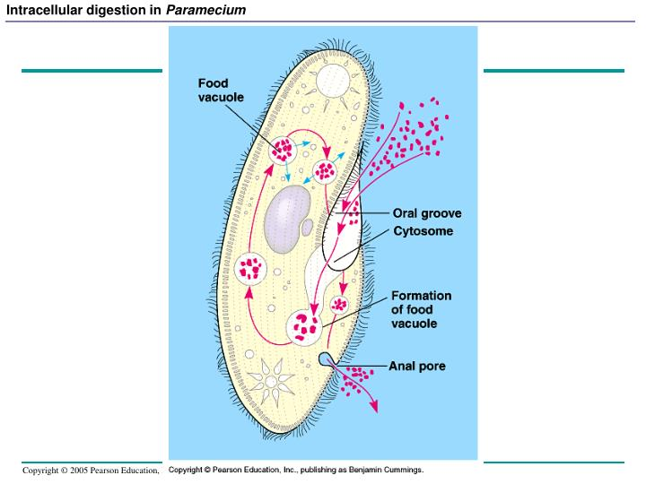 Intracellular digestion in