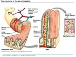 the structure of the small intestine