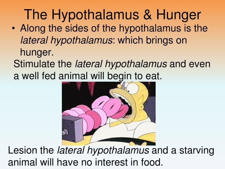 The Hypothalamus & Hunger