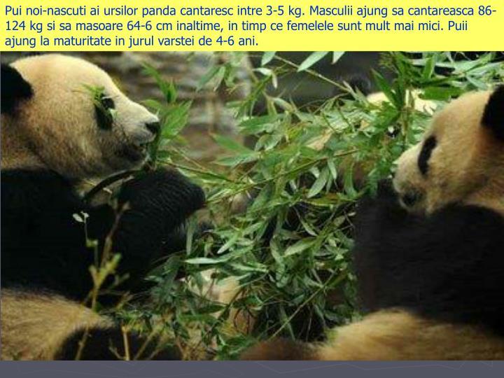 Pui noi-nascuti ai ursilor panda cantaresc intre 3-5 kg. Masculii ajung sa cantareasca 86-124 kg si sa masoare 64-6 cm inaltime, in timp ce femelele sunt mult mai mici. Puii ajung la maturitate in jurul varstei de 4-6 ani.