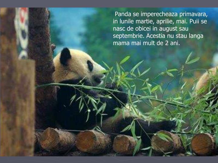 Panda se imperecheaza primavara, in lunile martie, aprilie, mai. Puii se nasc de obicei in august sau septembrie. Acestia nu stau langa mama mai mult de 2 ani.